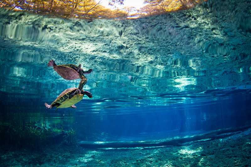 A turtle takes a breath in Ginnie Springs, Florida