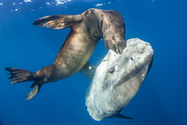 A sunfish (Mola mola) watches as a California sea lions (Zalophus californianus) breaks its tough skin. Due to the current El Nino regime, much of the sea lion's usual prey is up north in cooler waters. Forcing them to eat whatever is available.