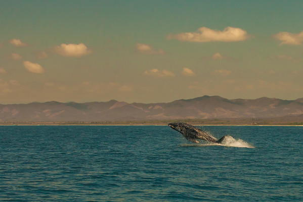 A breaching juvenile humpback whale off Oaxaca, Mexico.