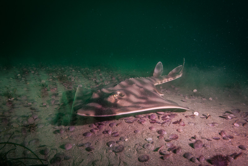A banded guitarfish (Zaeteryx exasperate) hunts the sand dollar beds off San Diego, CA. These elasmobranchs, cartilaginous fish, are bottom feeders and have grinding plates rather than shark-like teeth. They use these plates to crunch hard prey, such as mollusks and crustaceans, that they catch.