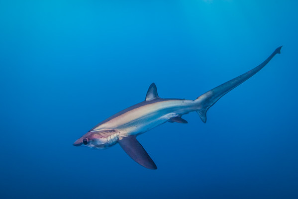 A bigeye thresher shark off San Diego, California.
