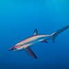 A bigeye thresher shark off San Diego, California.