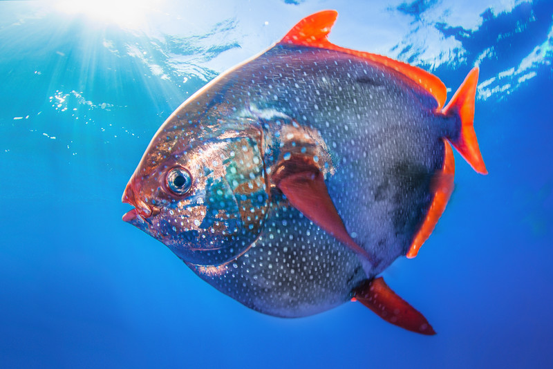 "The opah (Lampris guttatus) is a highly predatory mesopelagic fish that live at depths between 800-1200 feet and can weight up to 600 pounds. A recent study by National Oceanic and Atmospheric Atmosphere (NOAA) scientists in San Diego, CA claims they are capable or raising their body temperatures 5 degrees Celsius above ambient water temperatures. While some scientists dispute the study, NOAA scientists are dubbing it the first ""warm blooded fish."""
