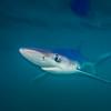 Blue shark on the Nine Mile Bank San Diego, CA