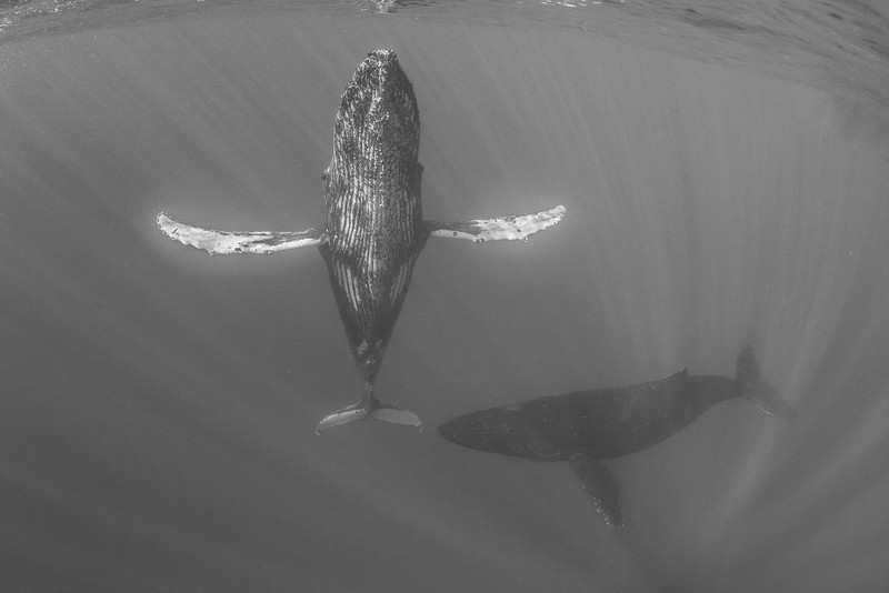A male humpback whale  (Megaptera novaeangliae) guards a resting female after he claimed victorious in a male heat run. Image taken under NMFS permit #13846