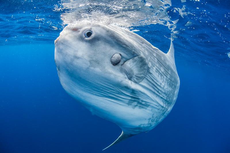 A sunfish (Mola mola) off the coast of San Diego, CA.