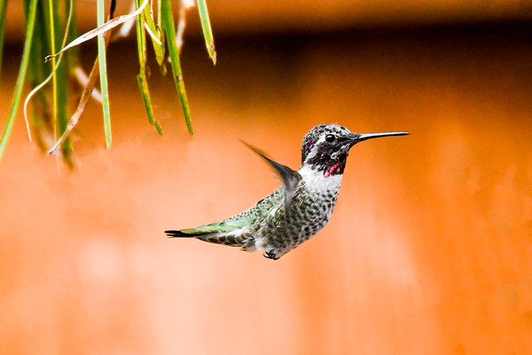 Natural Hummingbird