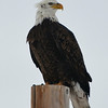 Eagle in Winter. He lives near our house in Colorado