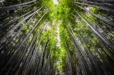 The magical bamboo forest of Arashiyama, Japan.