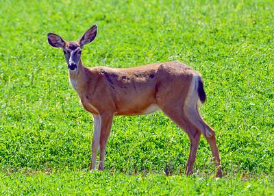 Alfalfa Deer