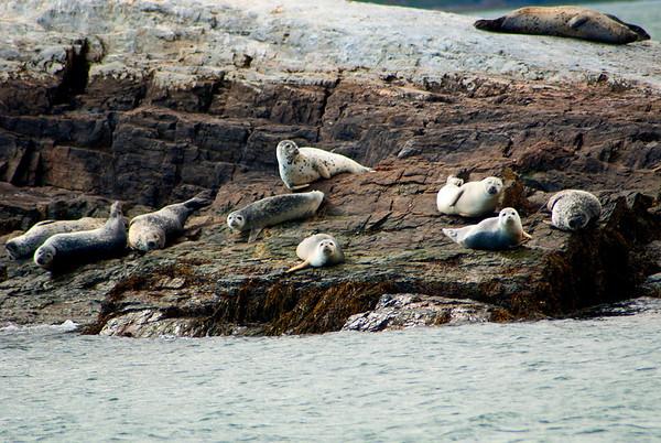 Harbor Seals 3