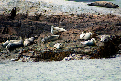Harbor Seals 3