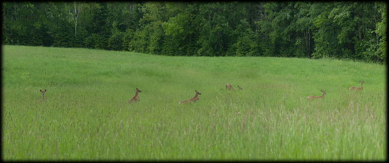 Deer in the field, Durham Maine