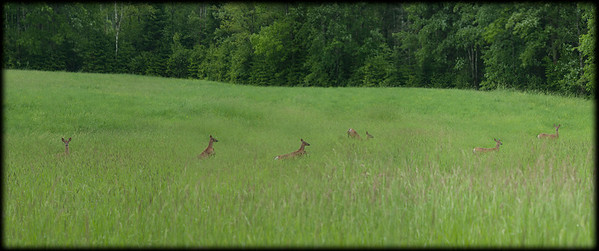 Deer in the field, Durham Maine