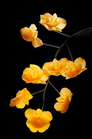 Dendrobium lindleyi (D. aggregatum)