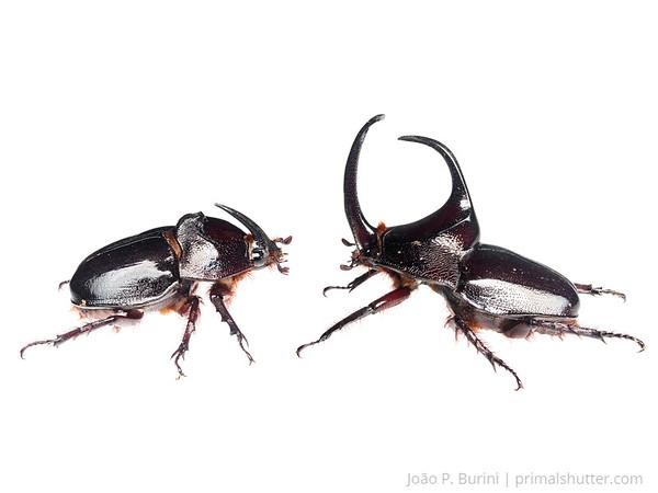 Couple of rhino beetles (Enema pan) Piedade, SP, Brazil Atlantic forest October 2013