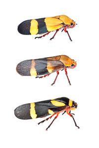 Spittlebug (Cercopidae species) Ribeirão Grande, Brazil Tropical rainforest (Atlantic forest) October 2012