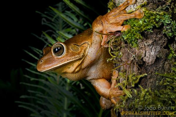 Close-up of a blacksmith treefrog