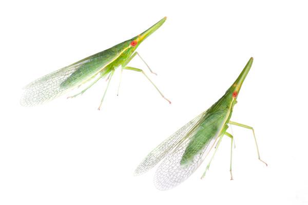Plant hopper (Hemiptera: Dictyopharidae) Ribeirão Grande, SP, Brazil November 2012 Tropical forest / Atlantic forest