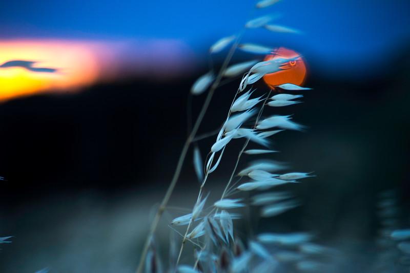 Golden Grass, Setting Sun