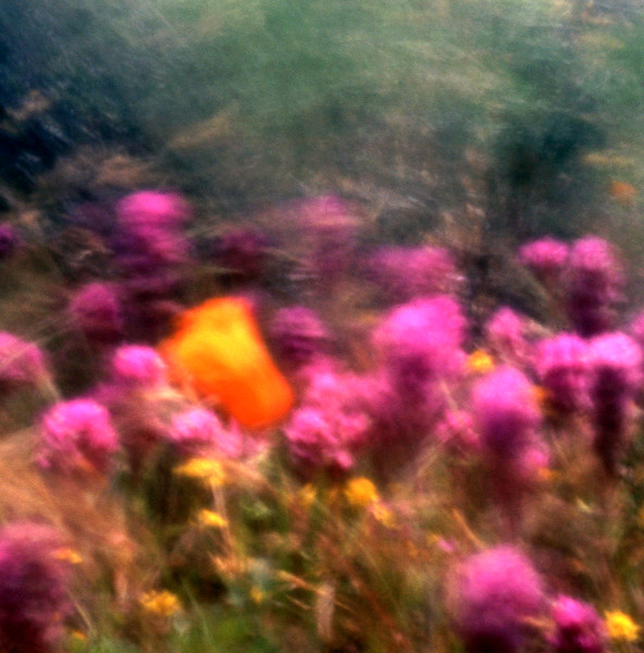Poppy in the Wind 3