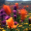 Poppies in the Wind 6<br /> Film originated photo.<br /> Print available on paper or aluminum, or<br /> Giclee on watercolor paper.