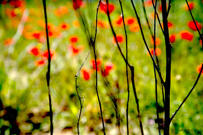 Twigs and Poppies