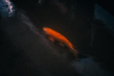 Golden Koi Swimming At Night