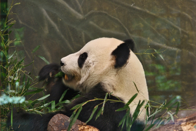 Giant pandas are an endangered species. A 2004 census found only about 1,600 wild giant pandas. They live in scattered populations in the mountains of central China, mostly in Sichuan Province, but also in Gansu and Shaanxi Provinces.