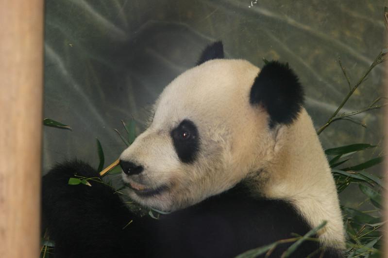 Ya-Ya at the Memphis Zoo - Giant Panda