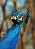 Male peacock - Little Rock Zoo