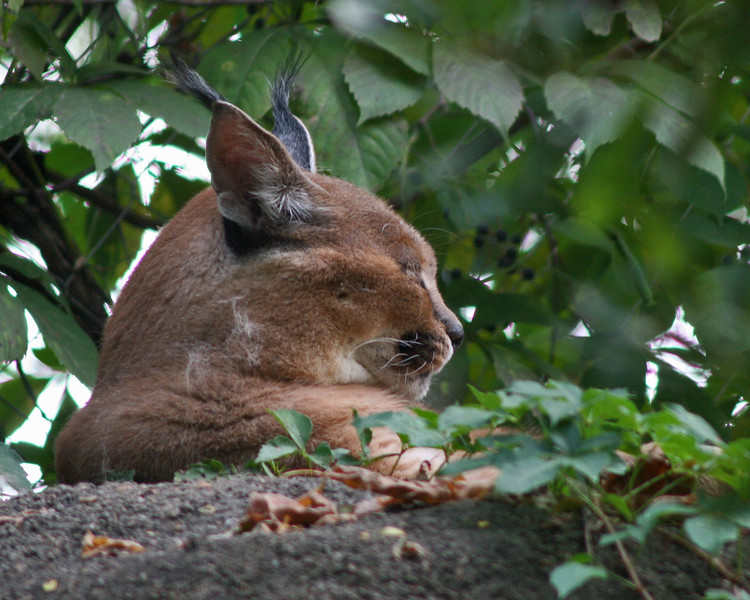 Caracal hiding at the Memphis Zoo (Tennessee)