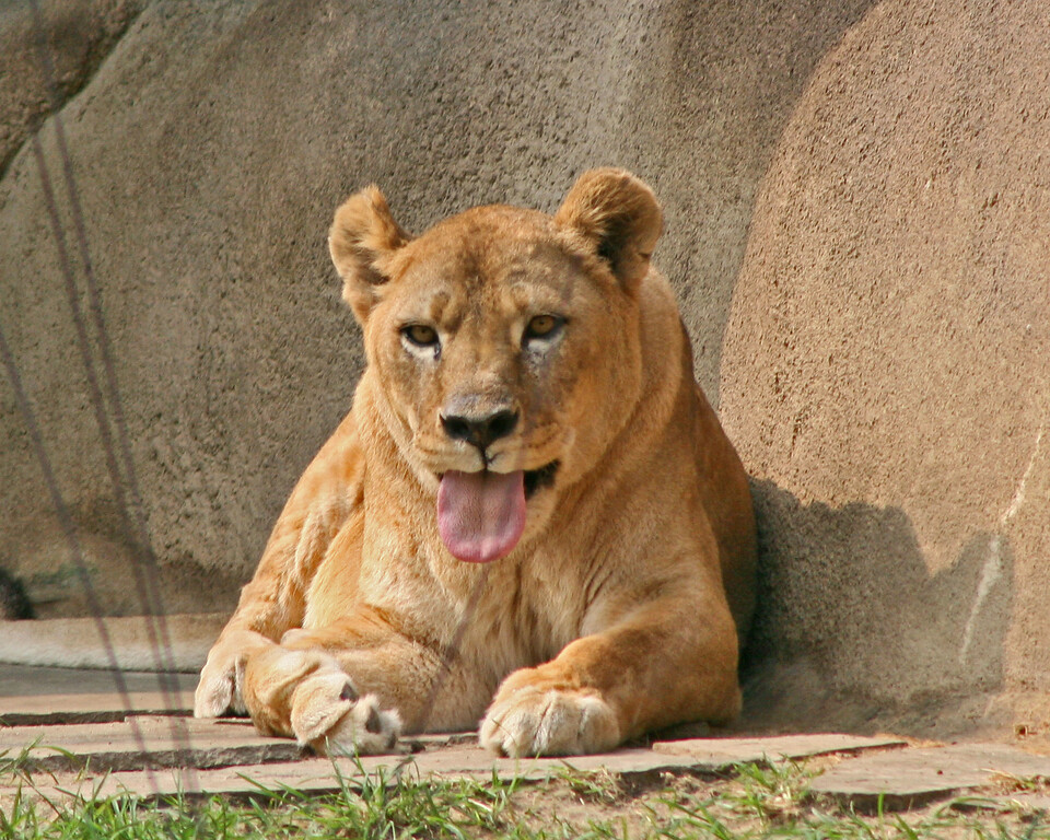 Have YOU ever tasted raw zebra?  <br /> <br /> Lioness with a bad taste in her mouth