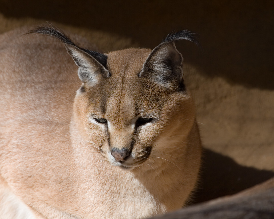 """Crystal the Caracal in the Little Rock Zoo (Arkansas)<P> Caracals' common names reflect their wide range and their varied coloration. In Turkish they are called garahgulak, meaning """"black-ear,"""" for their black-backed and tufted ears; the English word """"caracal"""" is likely a derivative of this word. In South Africa, the caracal is known as the rooikat, which means """"red cat"""" in Afrikaans, because its coat takes on a rusty hue in that region. Other names include sieyh gush, which is Hindi and Persian, and ngam ouidenanga, which means """"gazelle cat"""" in parts of Niger."""