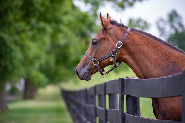 Kentucky Thoroughbred _Wooden Fence