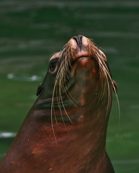 Whatcha lookin at?<br /> <br /> Seal with an attitude!