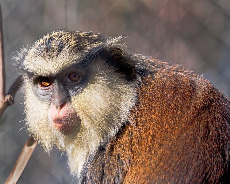 mona guenon<br> Mona Monkey