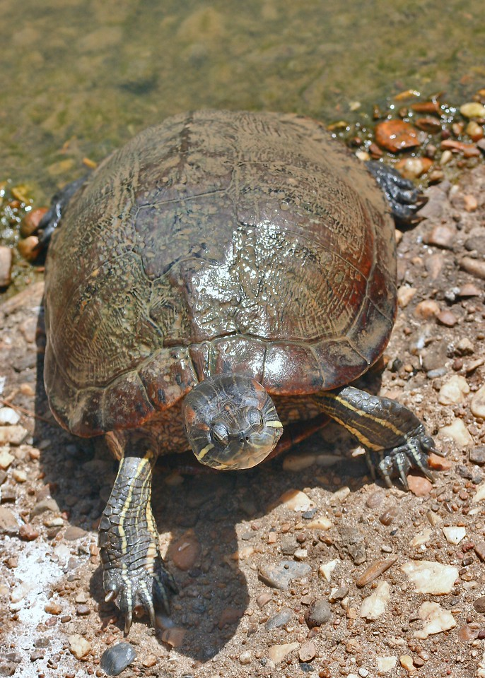 A turtle making it's way out onto the Arkansas River bank