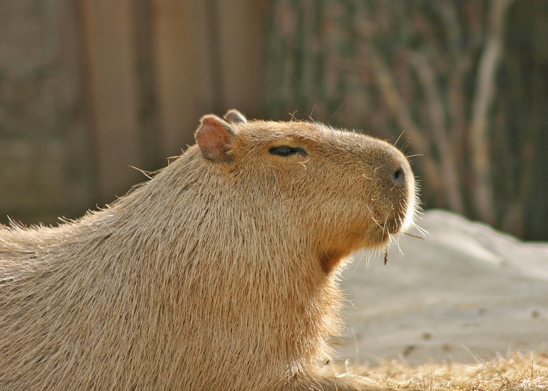 A capybura sunning itself.  It is mammal of Central and much of South America. It is the largest living member of the order Rodentia (the rodents) reaching a length of 4 ft (120 cm) and a weight of 75 to 100 lb (34–45 kg). Its brownish hair flecked with yellow is coarse and scanty, and its tail rudimentary. The feet are partially webbed, and there are four thick-nailed toes on the front feet and three on the hind feet. The capybara is an expert swimmer and diver. It eats vegetation and sometimes damages crops. It is hunted for food, its hide is made into gloves, and its bristles are used in brushes. It is also called water hog and carpincho