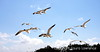 Terns, Gulf of Mexico, MS