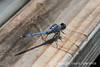 Dragonfly, Jean Lafitte Swamp & Airboat Tours, Marrero, LA