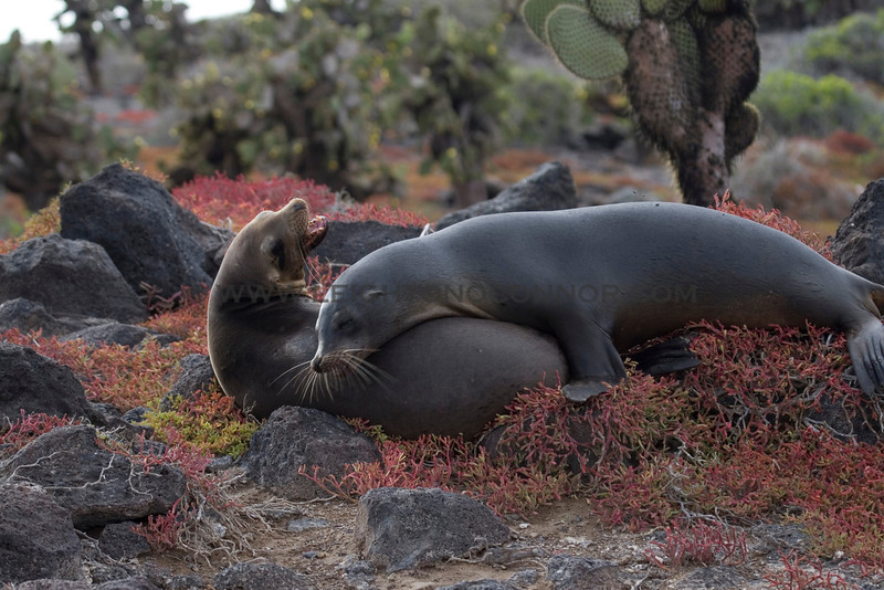 "Wildlife in the Galapagos Islands, Ecuador <br><center><a href=""javascript:addCartSingle(ImageID, ImageKey)""><img src=""/photos/558556942_SzNJ6-O.gif"" border=""0""></a></center>"