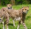 Cheetahs Checking Out Visitors