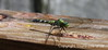 Dragonfly, Jean Lafitte Swamp & Airboat Tours, Marrero, LA