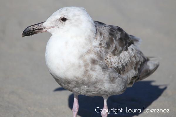 Pacific Sea Gulls at Seaside Beach, OR