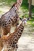 Curious Baby Giraffe