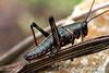 Eastern Lubber Grasshopper, Jean Lafitte Swamp & Airboat Tours, Marrero, LA