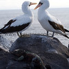 "Birds in the Galapagos Islands, Ecuador <br><center><a href=""javascript:addCartSingle(ImageID, ImageKey)""><img src=""/photos/558556942_SzNJ6-O.gif"" border=""0""></a></center>"
