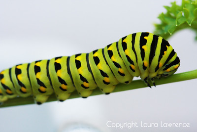 Monarch Caterpillar on Parsley Stalk