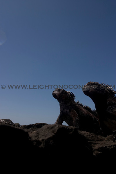 "Wildlife in the Galapagos Islands, Ecuador <br><center><a href=""javascript:addCartSingle(ImageID, ImageKey)""><img src=""/photos/558556942_SzNJ6-O.gif"" border=""0""></a></center>"